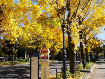 山下公園の銀杏並木