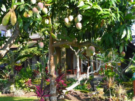 チェンダナ マンゴーの木