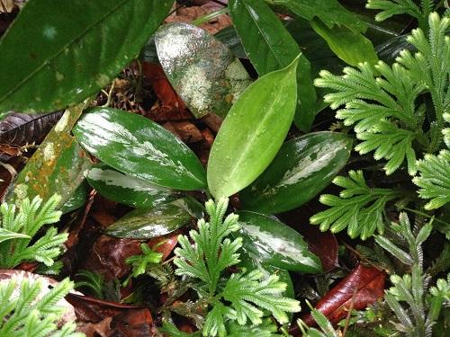 アグラオネマ メルシンバラッド産 東海 岐阜 熱帯魚 水草 観葉植物販売 Grow aquarium