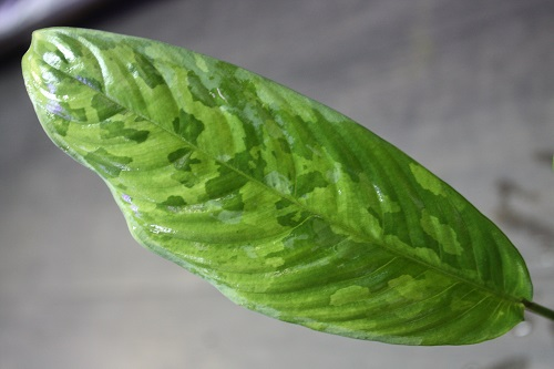 スキスマトグロッティスsp.セランゴール 東海 岐阜 熱帯魚 水草 観葉植物販売 Grow aquarium