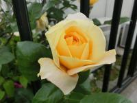 CIMG4797黄色バラ