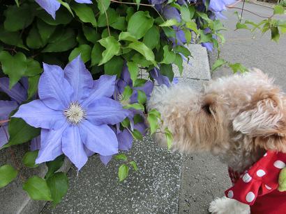 CIMG4794青い花