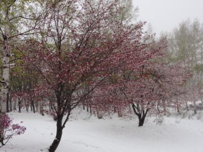 網走天都山桜祭り 025