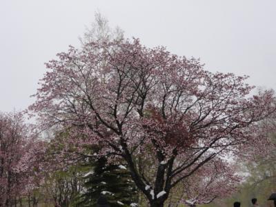 網走天都山桜祭り 044