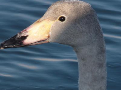 白鳥 021