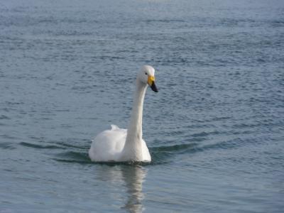白鳥 003