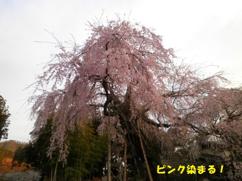 朝日が当りピンクに染まる桜