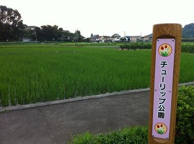 チューリップ畑の米
