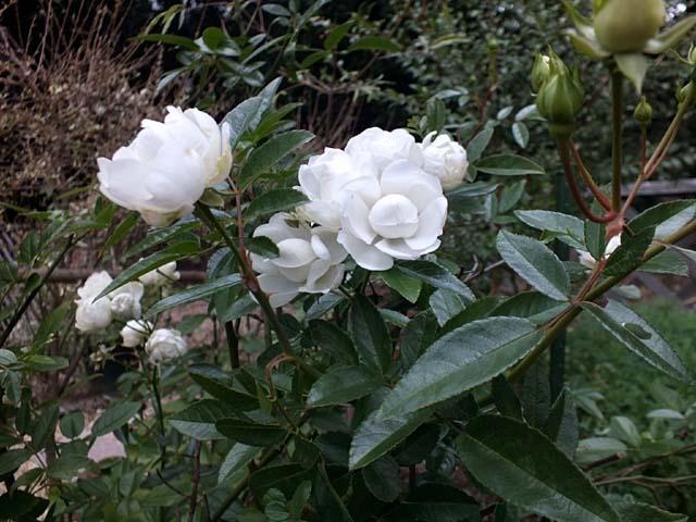 薔薇(ばら)(62134 byte)