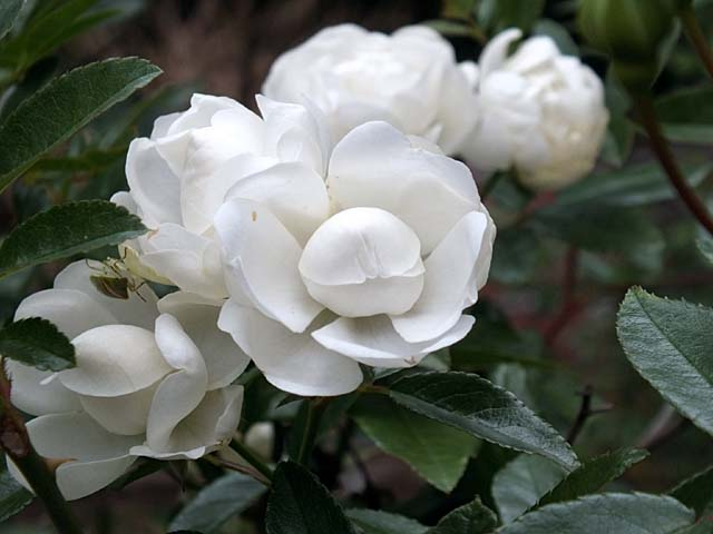 薔薇(ばら)(36109 byte)
