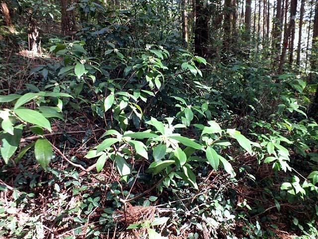 胡椒の木(115214 byte)