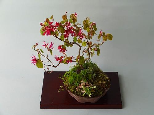 紅花トキワマンサク26年2月