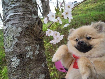 桜とはなさん