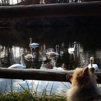 白鳥を見たりb