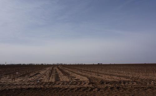 コットン畑