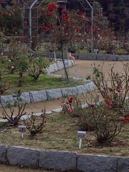 20141119近くのバラ園で・・