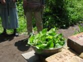 08カキドオシ収穫