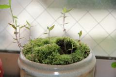 ドングリの芽が出た
