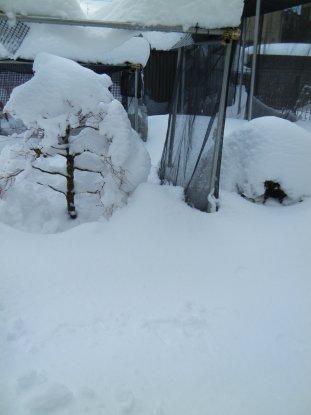 0209大雪の後・埋もれた松ともみじ