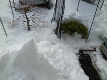 0209大雪の後・松ともみじの堀出し