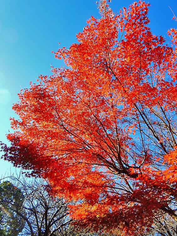 141203昼休みの紅葉3