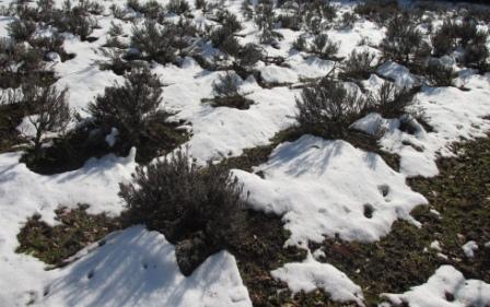 2013 雪のラベンダー