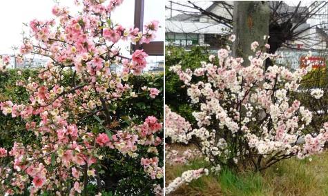 aぼけの花P1220872