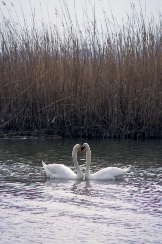 白鳥の里:白鳥035(1051x1500)