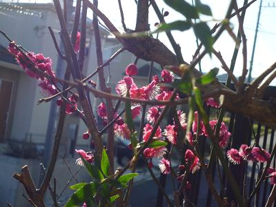 春のお花 002