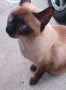 2012/11/18 迷子シャム猫♂保護しました