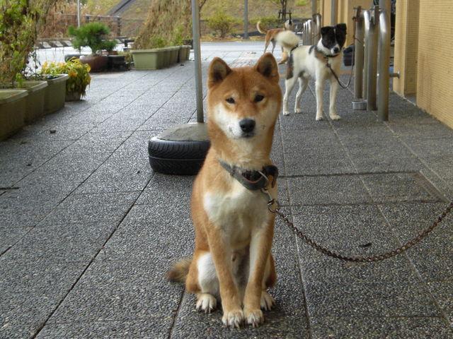 260成犬(柴犬♂6歳)の新しい飼...