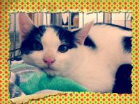 2012/11/1 白黒猫♂飼主募集中♪