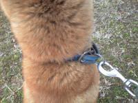 迷い犬首輪青色