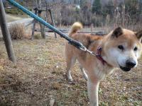 川尻迷い犬・柴風MIX