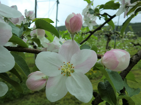 リンゴ開花