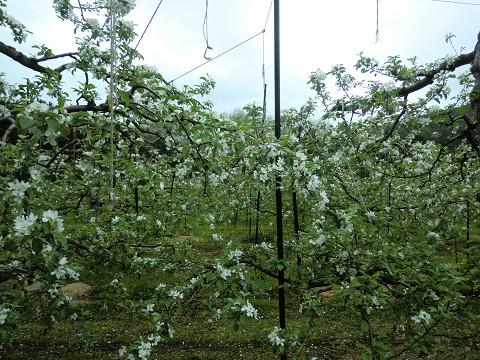 リンゴ開花2