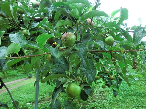 成長するリンゴ