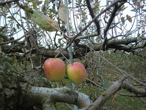 夫婦リンゴ