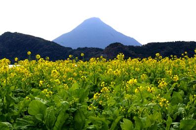 ■菜の花と開聞岳