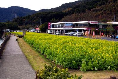 ■池田湖半の菜の花