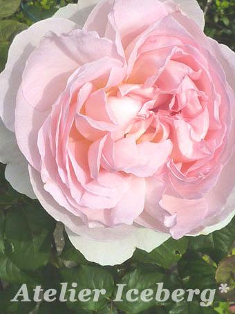 rose2012_09.jpg