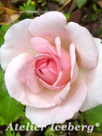 rose2012_27.jpg