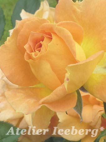 rose2012_33.jpg