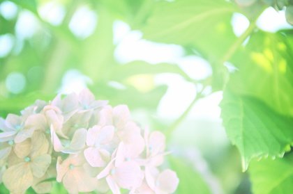 紫陽花 k