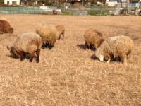 オギノエン羊