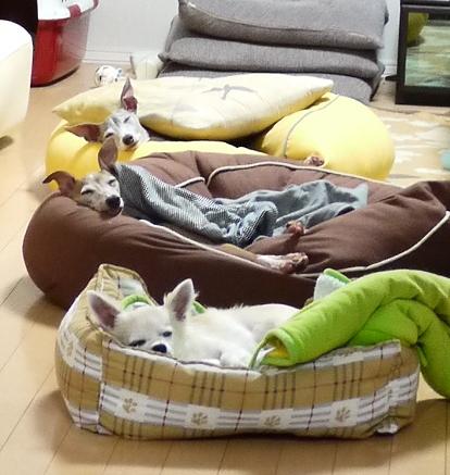 ディオっち、ワタシが居る時は 飼い主♂が横に居ても、こうやってクッションで寝られるんですが・・