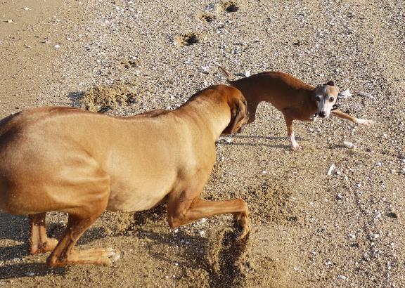 シャロリーが走ると、砂粒の巻きあがり方がすごいっ。