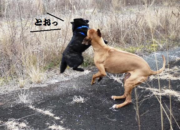 甲斐犬だけど、動きは伊賀(甲賀)の忍犬か!?
