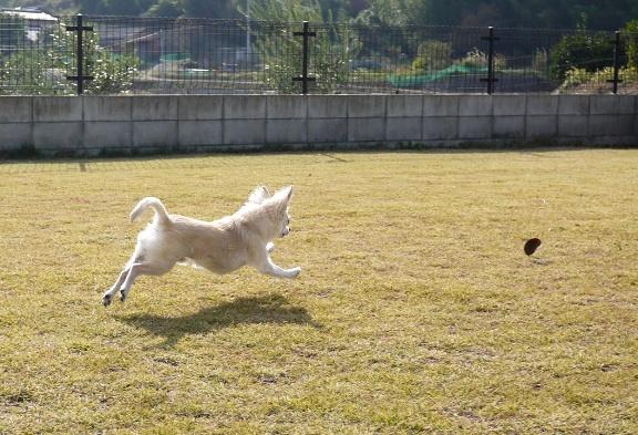 チワは、ボール遊びが出来れば ニューおもちゃは特に気にならないらしい。