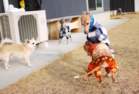 この後、卓造がフラフラと犬走り土間の方へ歩いて行ったら、チワにめっちゃ怒られてた・・。